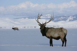 Elk, Yellowstone National Park, Yellowstone wildlife, yellowstone wildlife photos, elk photos, elk images, elk pictures, yellowstone winter, elk in yellowstone