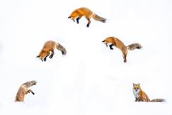 red fox, red fox photos, red fox images, wildlife in the US, united states wildlife, united states wildlife photos, us wildlife photos, wildlife in Grand Teton National Park, Grand Teton wildlife, wildlife in the Tetons, foxes mousing, mousing fox