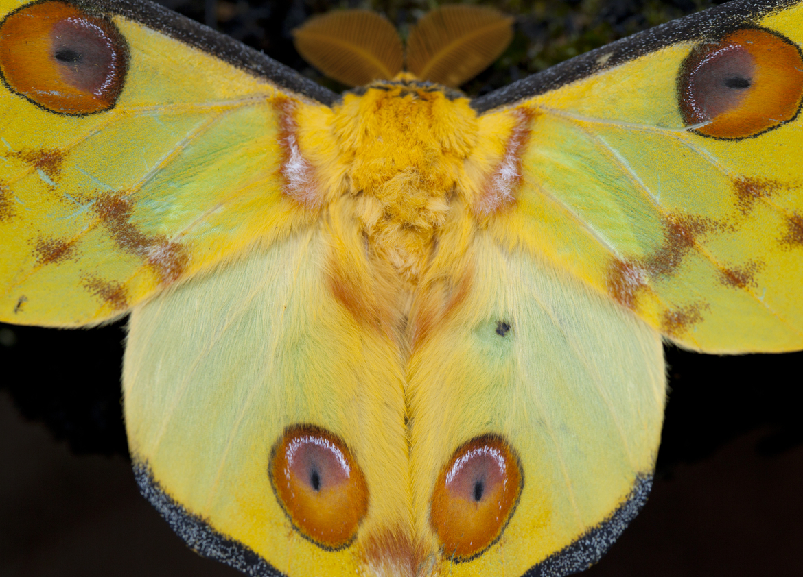 Comet moth, moth, moths in Madagascar, Madagascar wildlife, insects in Africa, comet moth images, comet moth photos