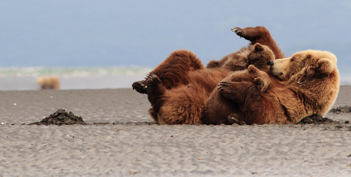 brown bear, grizzly, grizzly cubs, brown bear cubs, grizzly bear nursing, brown bear nursing, grizzly photos, grizzly images, brown bear photos, Kodiak, Katmai, Alaska bears, Alaska wildlife