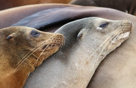 sea lions, Galapagos sea lions, Galapagos wildlife, Galapagos marine life, sea lion images, sea lion photos