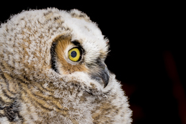 owl, owl photos, birds in the US, birds in Colorado, owls in Colorado, birding in the US, great horned owl, baby owl, baby owl photos, baby bird photos, Bubo virginianus