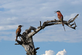 carmine bee eater, carmine bee eater photos, Botswana wildlife, Botswana wildlife photos, Botswana safari, Botswana safari photos, Africa safari, Africa safari wildlife, safari wildlife photos, birds of Africa, birds of Botswana
