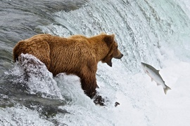 Brown Bear, Katmai Alaska, USA