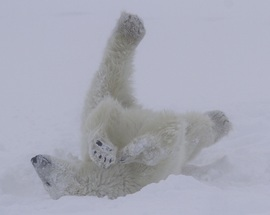 polar bear rolling in the snow, Churchill, Manitoba, Canada, Brad Josephs
