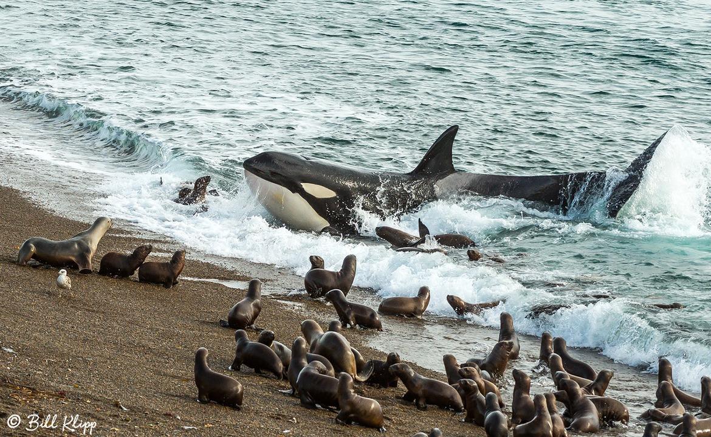 Killer Whale Beach Attack!