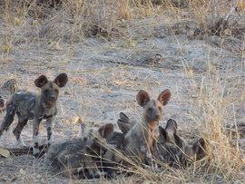 wild dog, african wild dog, wild dog pups, wild dog puppies, photos of wild dogs, wild dog photos, Botswana wildlife, wild dogs in Botswana, Botswana photos, Botswana safari, Botswana safari photos, African safari photos, African wild dog photos