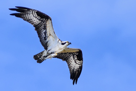 osprey, osprey photos, birds in Florida, birds in the US, St. Marks