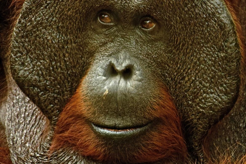 orangutan, orangutan photos, Borneo wildlife, Borneo orangutan, Borneo wildlife photos, camp leakey, camp leakey wildlife