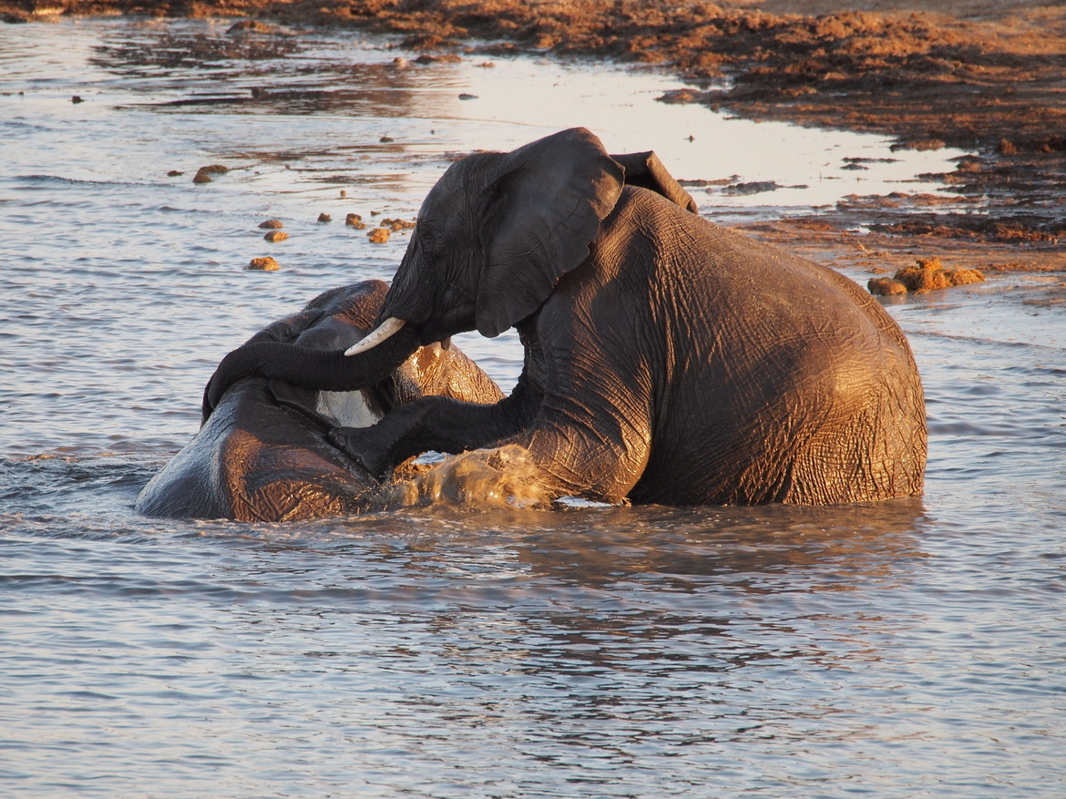 elephant, Zimbabwe, swimming elephant, elephant images, elephant photos,Zimbabwe images, Zimbabwe photos, Zimbabwe safari, Zimbabwe safari photos