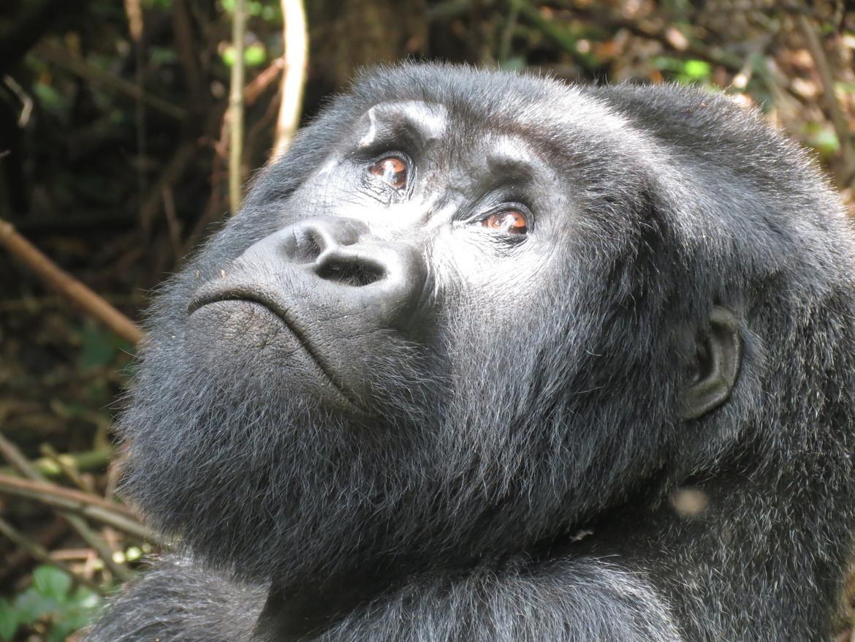 Gorilla, gorilla photos, gorillas in Rwanda, african safari, african primates, rwanda wildlife, rwanda wildlife photos