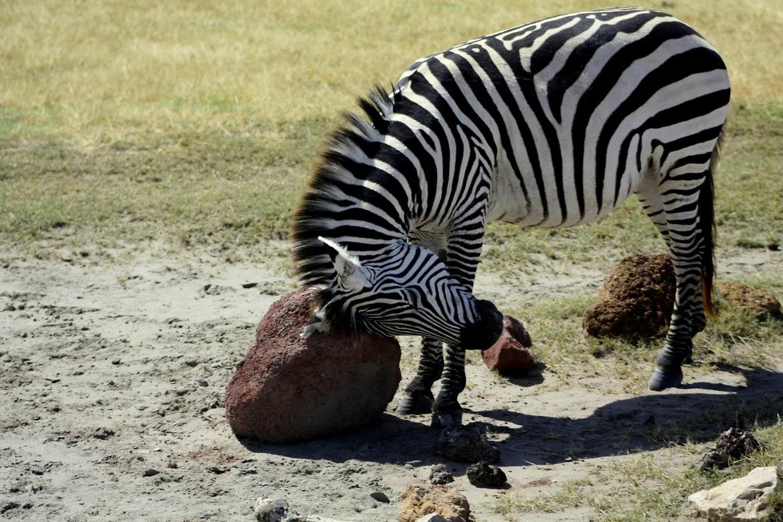 zebra, zebra photos, zebras in tanzania, tanzania wildlife, tanzania safari, africa safari photos