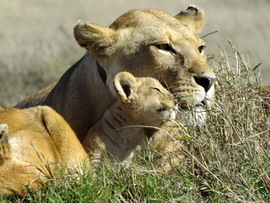 Lion, lioness, lion cub, lion cub photos, lion photos,  african wildlife, tanzania wildlife, tanzania wildlife photos, africa safari photos