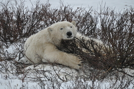 polar bear, polar bear in churchill, polar bear in canada, canada wildlife, canada polar bears, canada wildlife images, polar bear images, canada wildlife photos, polar bear photos, churchill wildlife, churchill wildlife photos