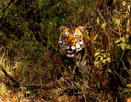 tiger photos, bengali tiger photos, tiger, bengali tiger, Kanha national park, kanha national park wildlife, kanha national park wildlife photos, india wildlife, india wildlife photos