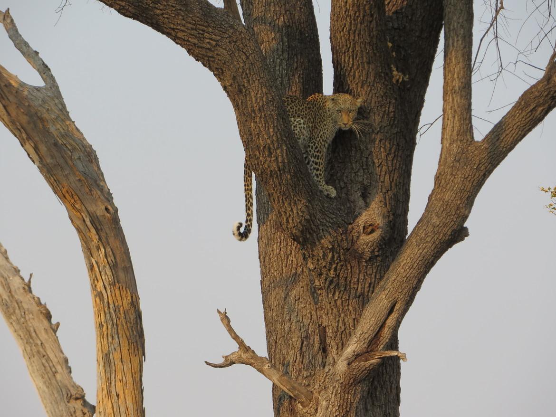 leopard, leopard photos, leopard images, botswana wildlife, botswana wildlife photos, botswana safari, botswana safari photos, african safari photos, african cats, leopards in africa, leopards in botswana, Linyanti, Linyanti wildlife, leopards in Linyanti