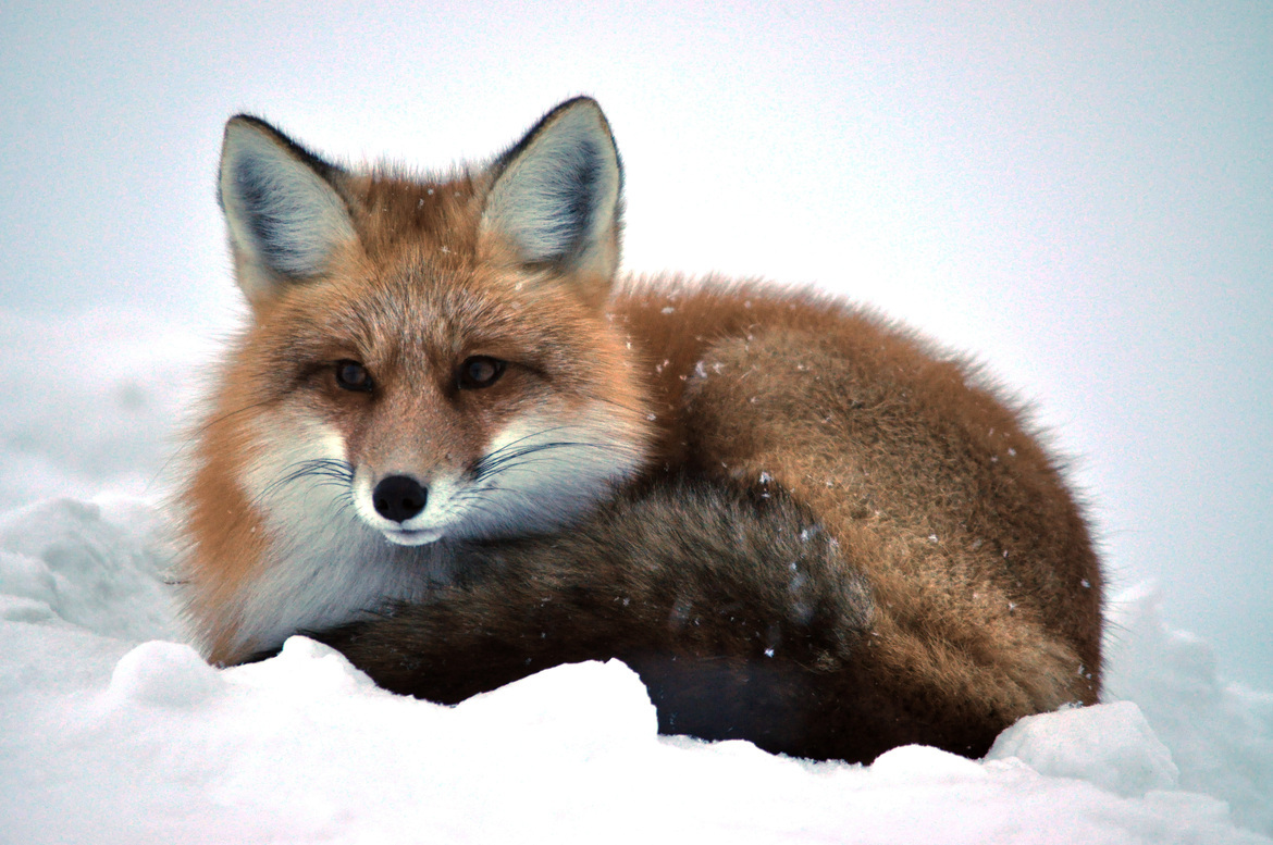 red fox, red fox photos, red fox images, Churchill wildlife, Churchill wildlife images, Churchill Manitoba