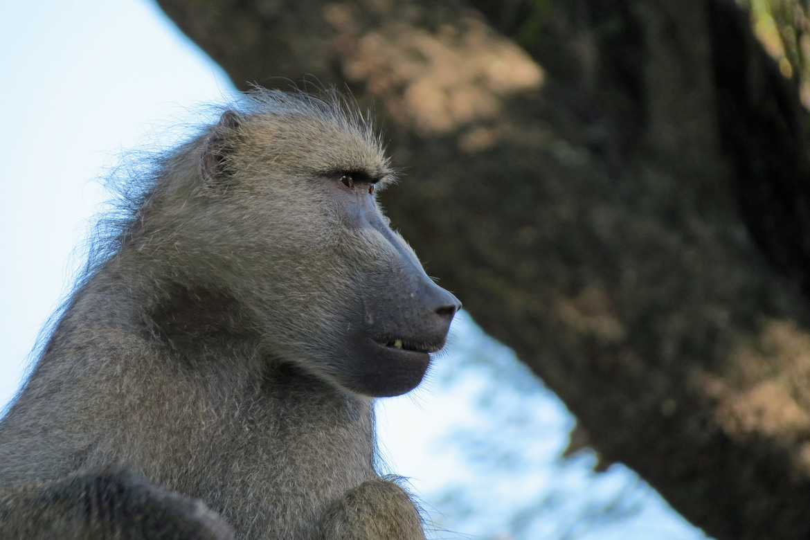 baboon, baboon photos, baboon in Botswana, Botswana wildlife, Botswana wildlife photos, africa safari photos, africa safari, botswana safari, botswana safari photos, Little Vumbura, Little Vumbura wildlife, Little Vumbura wildlife photos