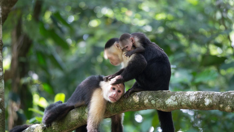 Capuchin monkey, capuchin monkey photos, Costa Rica, Costa Rica wildlife, Costa Rica wildlife photos