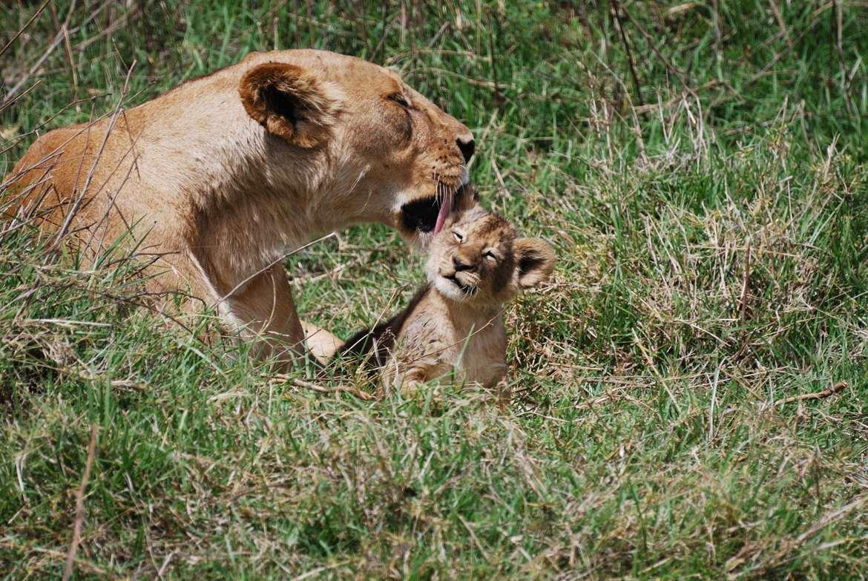 Lion, lioness, lion cub, lion cub photos, lion photos,  african wildlife, tanzania wildlife, tanzania wildlife photos, africa safari photos