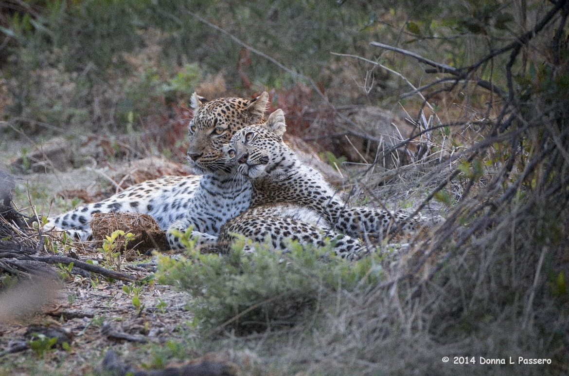 leopard, leopard photos, leopard images, botswana leopards, botswana safari images, botswana wildlife images, botswana wildlife photos, okavango delta, okavango delta images, okavango delta photos