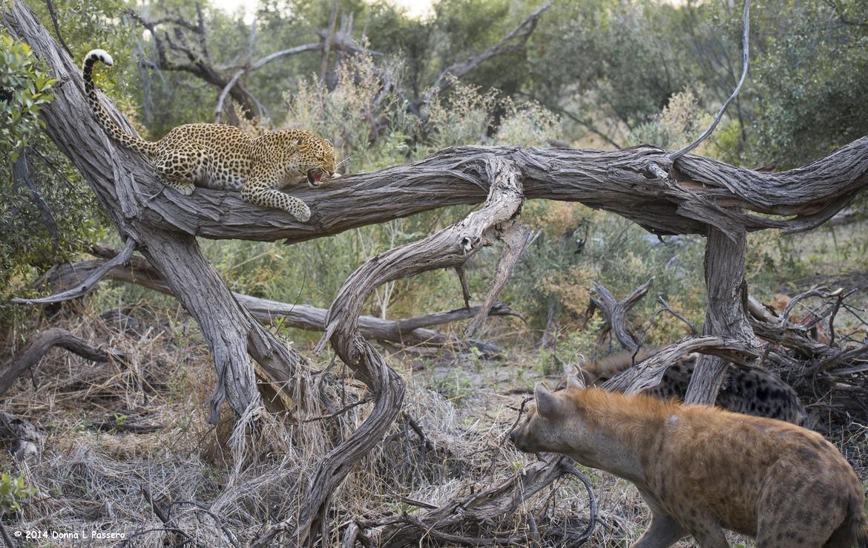 Leopard, hyena, Botswana, Botswana wildlife, Botswana wildlife photos, Botswana wildlife images, leopard images, leopard photos, hyena images, hyena photos, Africa wildlife, Africa cats, Africa safari images, Africa safari photos