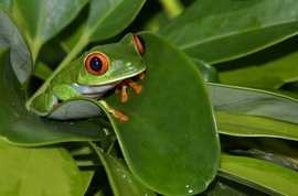 Grid cr77tor red eyed leaf frog