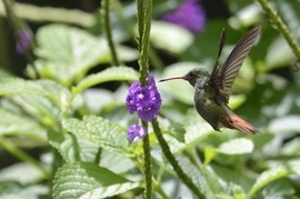rufous tailed humming bird, rufous tailed humming bird images, rufous tailed humming bird photos, Costa Rica wildlife, Costa Rica birds, Costa Rica hummingbirds, Arenal Volcano, Arenal volcano images, Arenal volcano wildlife