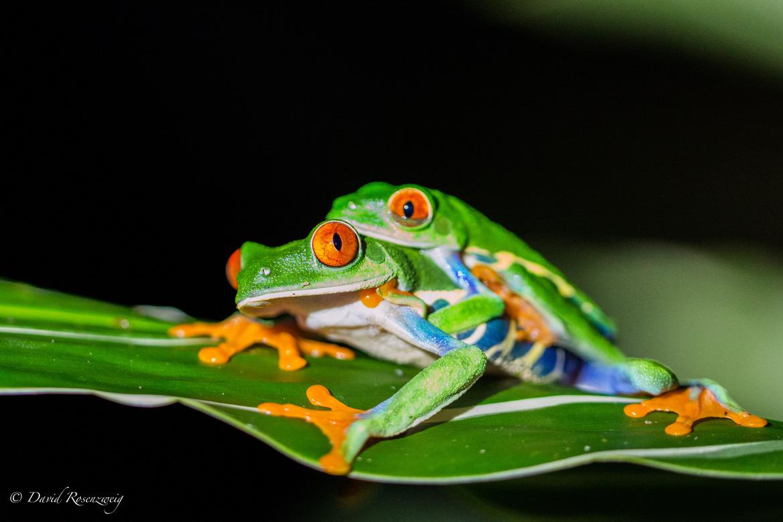 Red-Eyed Tree Frog, tree frog, Red-Eyed Tree Frog photos, tree frog photos, costa rica wildlife photos, costa rica wildlife, costa rica frogs, costa rica amphibians