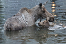 moose, alaska, alaska wildlife, moose images, moose photos, alaska wildlife images, alaska wildlife photos, alaska images, alaska photos, moose swimming