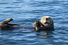 sea otter, sea otter photos, sea otter images, Fox Island, Fox Island wildlife, Fox Island photos, Alaska wildlife, Alaska wildlife photos