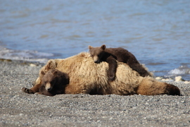 Grizzly, Alaska, brown bear, grizzly cubs, brown bear cubs, bear cub images, grizzly images, grizzly photos, Alaska wildlife, Alaska bears,