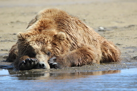 grizzly bear, brown bear, grizzly photos, brown bear photos, bear fishing, Katmai National Park, alaska wildlife photos