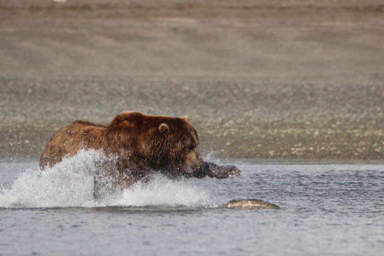 grizzly bear, brown bear, grizzly photos, brown bear photos, bear fishing, Katmai National Park, alaska wildlife photos