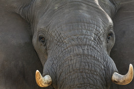 elephant, botswana, botswana wildlife, botswana safari, botswana wildlife images, elephant images, elephant photos
