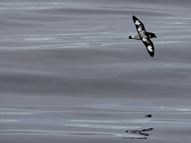 Cape petrel, petrel, cape petrel images, cape petrel photos, petrel images, petrel photos, antarctica wildlife, antarctica wildlife images, antarctica birds