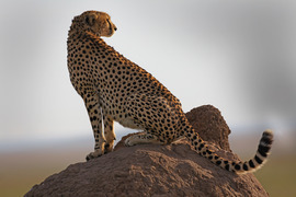 Cheetah, Kenya, Kenya wildlife, Kenya safari images, cheetah images, cheetah photos, kenya images, kenya photos