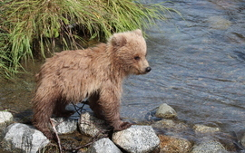 Brown bear, Grizzly bear, grizzly cub, brown bear cub, bear cub, bear cub photos, grizzly cub photos, Alaska bears, Alaska wildlife, Alaska wildlife photos, Alaska bear photos, Katmai National Park, Katmai National Park wildlife