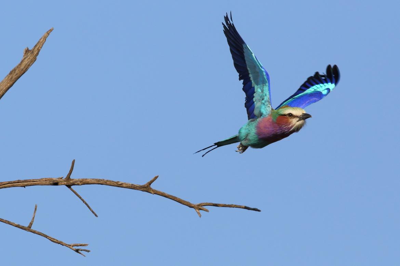 Lilac-Breasted Roller, Lilac-Breasted Roller photos, birds in kenya, kenya wildlife, kenya safari photos, kenya wildlife photos, bird photos