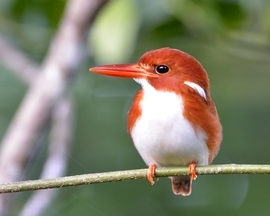 Grid 197mas kingfisher  madagascar pygmy