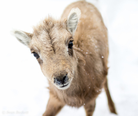 big horn sheep, baby sheep, national elk refuge, big horn sheep photos, big horn sheep images, Jackson Hole, Jackson Hole wildlife, Jackson Hole wildlife photos, Jackson Hole photos