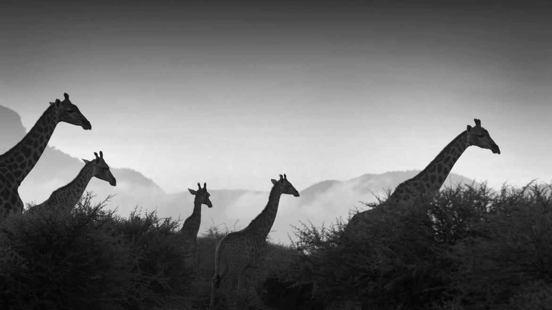 giraffe, South Africa, Africa, Marakele National Park, Marakele National Park wildlife, South Africa wildlife, Africa wildlife, South Africa wildlife pictures, Giraffe images, giraffe pictures, African safari