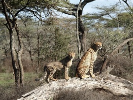 Cheetah, cheetah cub, cheetah cub photos, Tanzania, Tanzania wildlife, Tanzania safari images, cheetah images, cheetah photos, Tanzania images, Tanzania photos