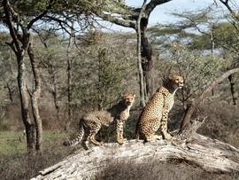 Cheetah, cheetah cub, cheetah cub photos, Tanzania, Tanzania wildlife, Tanzania safari images, cheetah images, cheetah photos, Tanzania images, Tanzania photos