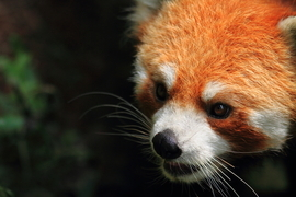 red panda, red panda photos, china, china wildlife, china wildlife images