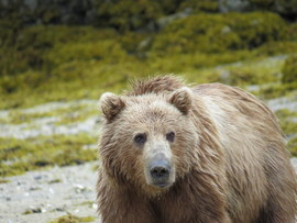 grizzly bear, kodiak bear, brown bear, kodiak island, grizzly photos, brown bear photos, kodiak bear photos, alaska wildlife, alaska bears, alaska wildlife photos, alaska bear photos