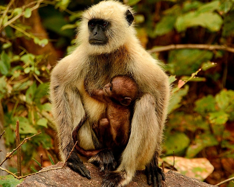 Langur, black-faced langur, langur monkey, Kanha National Park, India wildlife, India monkeys, langur photos, black faced langur photos, baby langur, baby langur photos