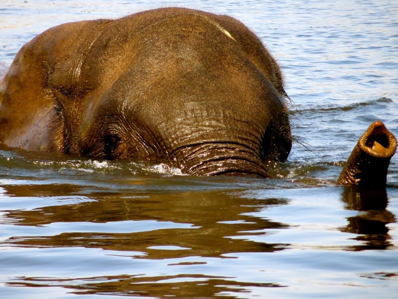 elephant, Botswana, swimming elephant, elephant images, elephant photos, Botswana images, Botswana photos, Botswana safari, Botswana safari photos, Chobe River, Chobe River photos