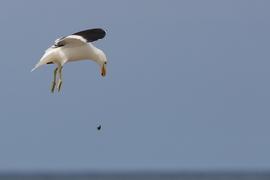 Grid sa180ag kelp gull