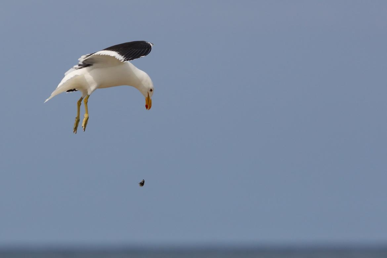kelp gull, birds in africa, kelp gull images, kelp gull photos, gulls, gull photos, cape agulhas wildlife, cape agulhas birds, cape agulhas